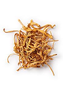 Cordyceps paddenstoel